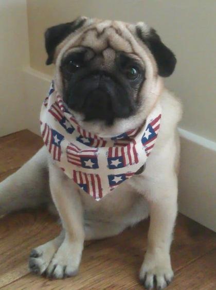 Patriotic pugShiro